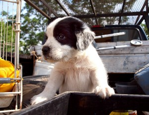 Cute puppy on a salvage truck.